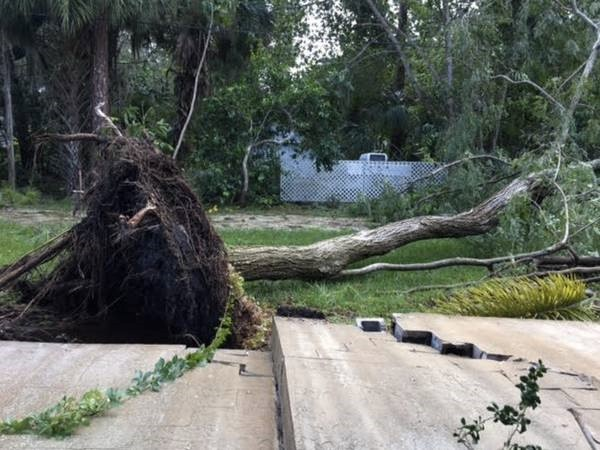 An uprooted tree in Sarasota